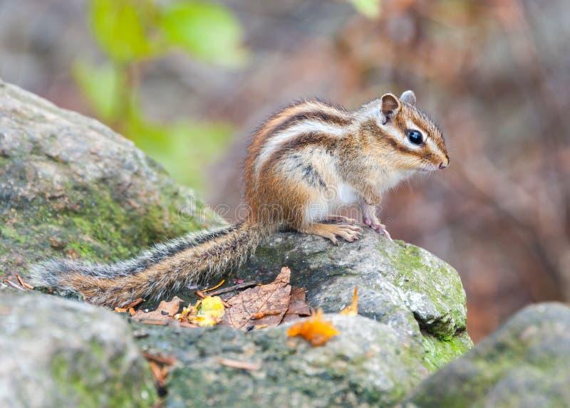 Esquilo Siberian - animal do símbolo do do nacional de Seoraksan imagem de stock