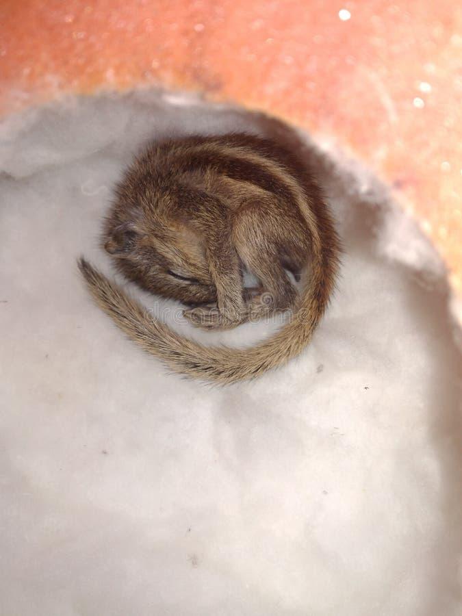 Esquilo sonolento foto de stock