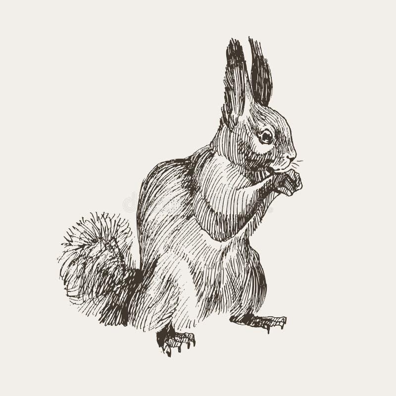 Esquilo tirado mão Animal realístico retro isolado Estilo do vintage Mamífero de tiragem monocromático Esboço do vetor Floresta ilustração do vetor