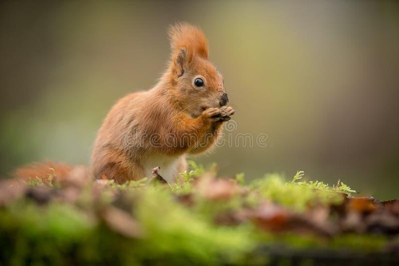 Esquilo vermelho com arredores borrados fotos de stock