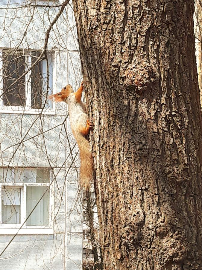 Esquilo vermelho da cidade que corre em torno da árvore imagens de stock