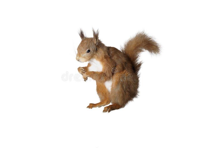 Esquilo vermelho da taxidermia fotografia de stock