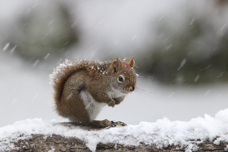 Esquilo vermelho da tempestade do inverno foto de stock