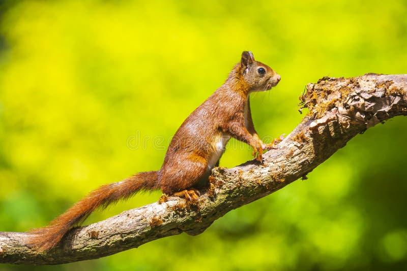 Esquilo vermelho euro-asiático curioso, Sciurus vulgar, correndo e saltando através das árvores em uma floresta fotos de stock