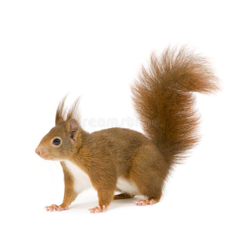 Esquilo vermelho euro-asiático - Sciurus vulgaris (2 anos) fotos de stock