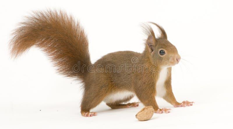 Esquilo vermelho euro-asiático - Sciurus vulgaris (2 anos) fotos de stock royalty free