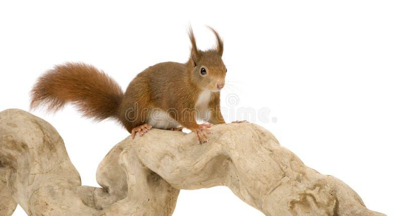Esquilo vermelho euro-asiático - Sciurus vulgaris (2 anos) foto de stock royalty free