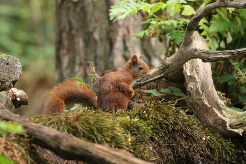 Esquilo vermelho europeu imagens de stock