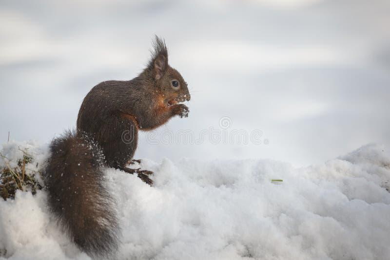 Esquilo vermelho na neve fotografia de stock