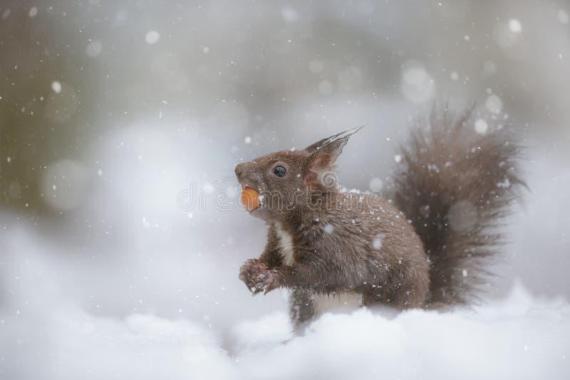 Esquilo vermelho na queda da neve do inverno imagem de stock royalty free