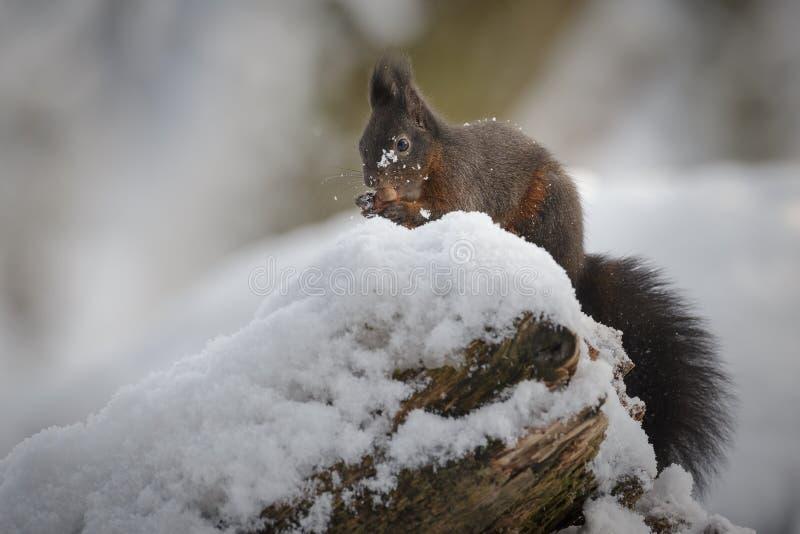Esquilo vermelho no inverno foto de stock