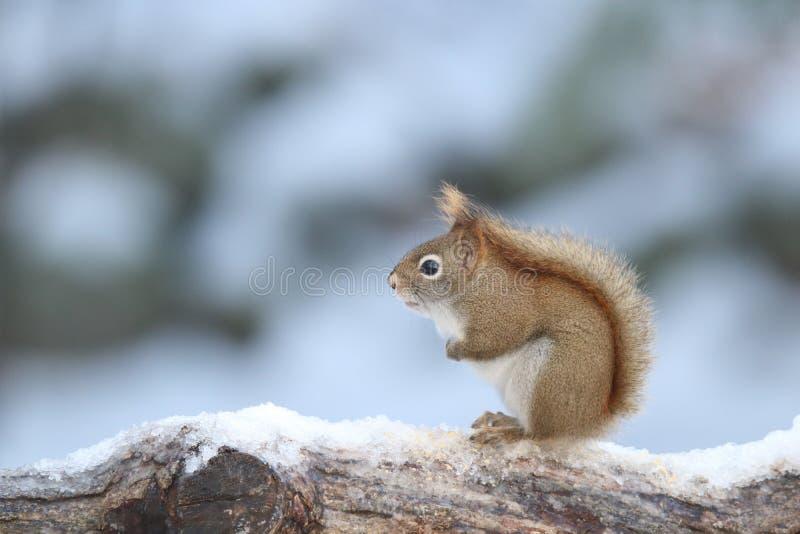 Esquilo vermelho pequeno no inverno fotografia de stock