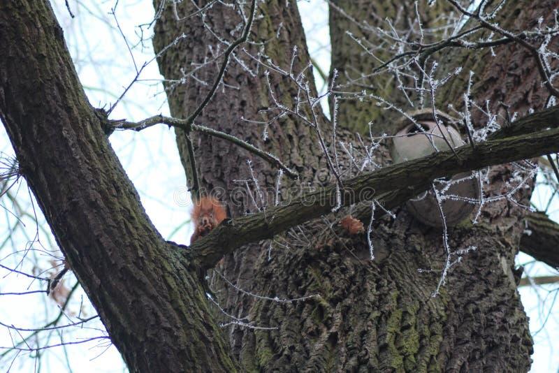 Esquilo vermelho perto do castelo feericamente Wolfsburg, Alemanha fotos de stock