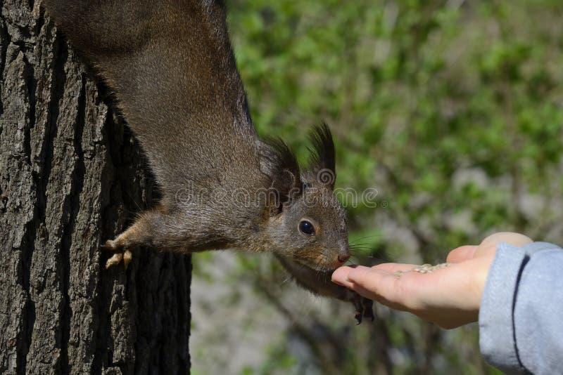 Esquilo vermelho que come o alimento do ser humano fotografia de stock royalty free
