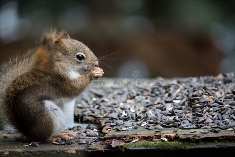 Esquilo vermelho que come a semente do pássaro em uma plataforma da casa de campo fotos de stock