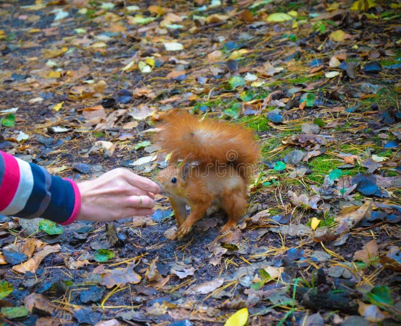 Download Esquilo Vermelho Que Come Uma Porca Da Mão Foto de Stock - Imagem de vermelho, cute: 80102800