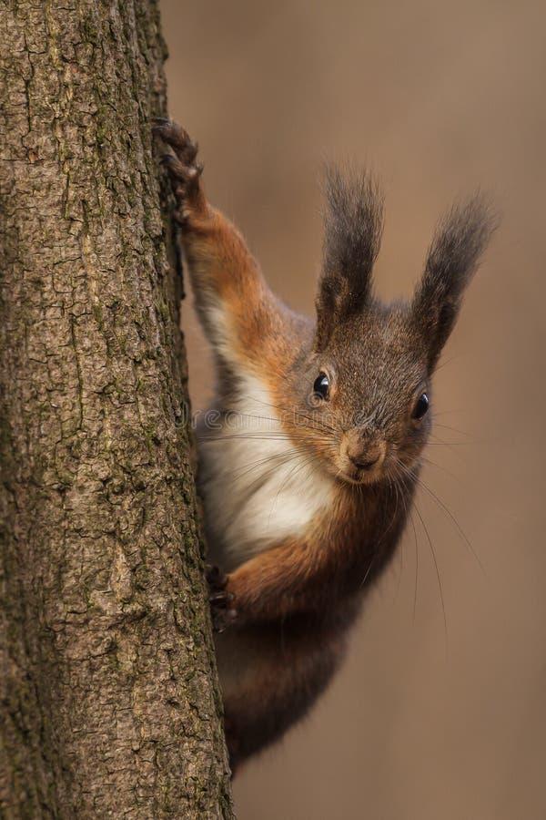 Esquilo vermelho que olha para baixo imagem de stock