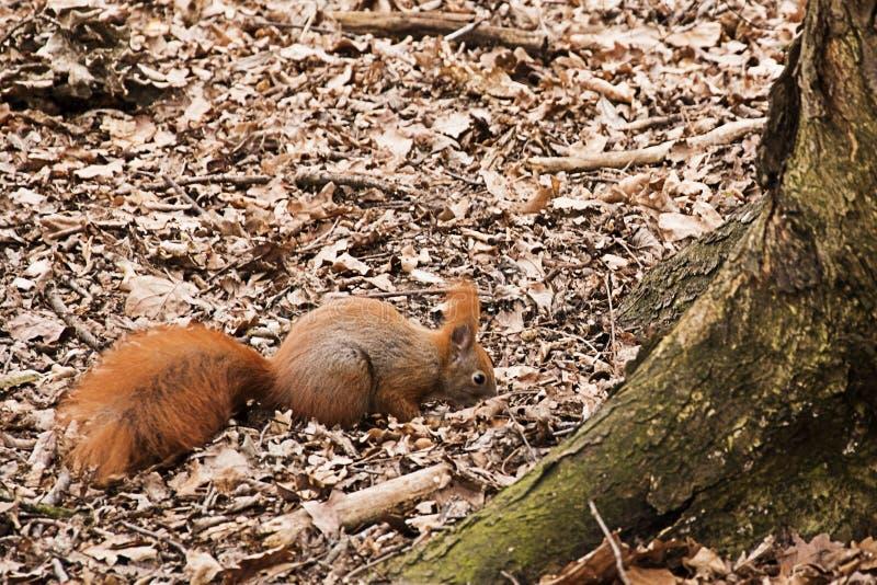Esquilo vermelho que procura o alimento no parque foto de stock royalty free