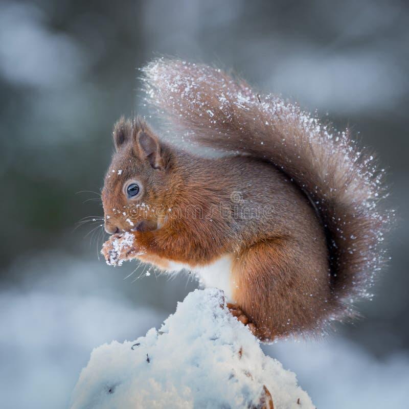 Esquilo vermelho que procura pelo alimento imagens de stock