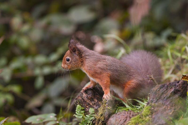 Esquilo vermelho (Sciurus vulgaris) imagem de stock royalty free