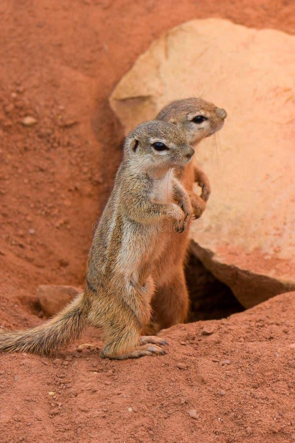Esquilos à terra listrados (flavovittis de Paraxerus) fotos de stock royalty free