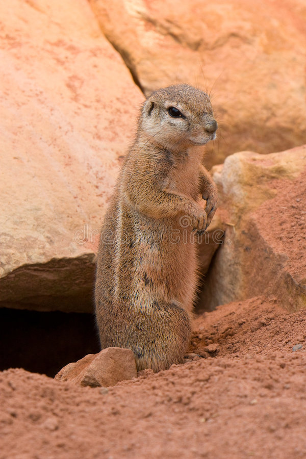 Esquilos à terra listrados (flavovittis de Paraxerus) imagens de stock