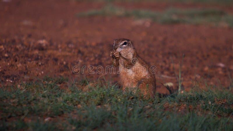 Esquilos bonitos de Brown foto de stock