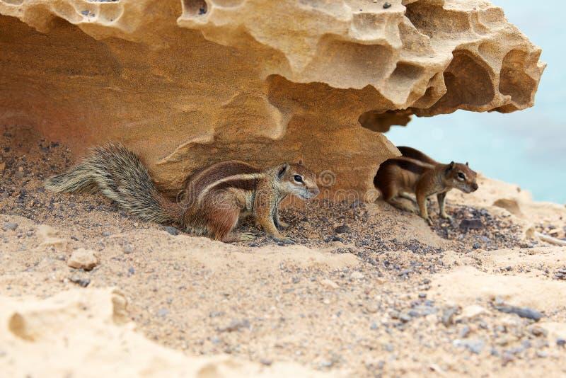 Esquilos de Fuerteventura em Ilhas Canárias foto de stock