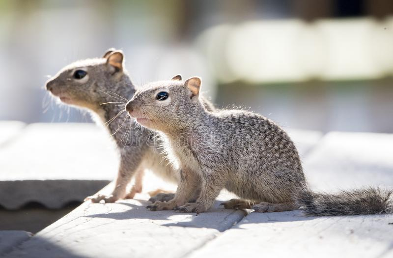 Esquilos de rocha do bebê, Tucson o Arizona imagens de stock royalty free