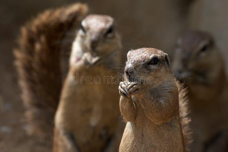 Esquilos do grounf do cabo fotos de stock