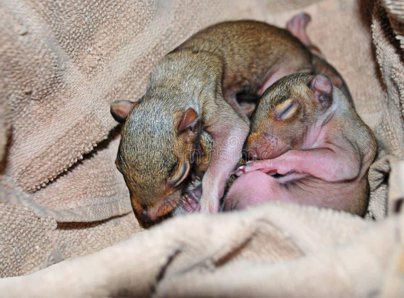 Esquilos recém-nascidos fotografia de stock royalty free