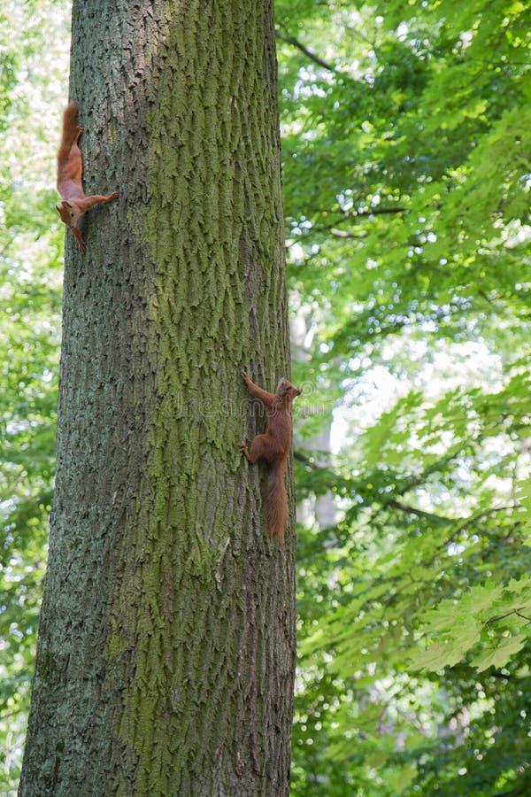 Esquilos vermelhos imagens de stock