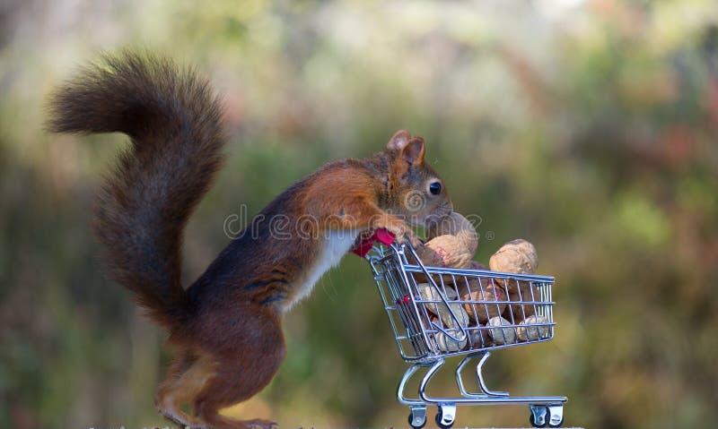 Esquilos vermelhos com carrinho de compras fotos de stock royalty free