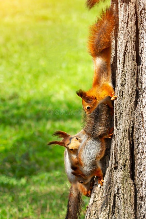 Esquilos vermelhos - mamã e dois esquilos novos em um tronco de árvore Opinião vertical vulgar do Sciurus fotos de stock