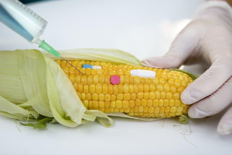 Essai de GMO sur le maïs images libres de droits