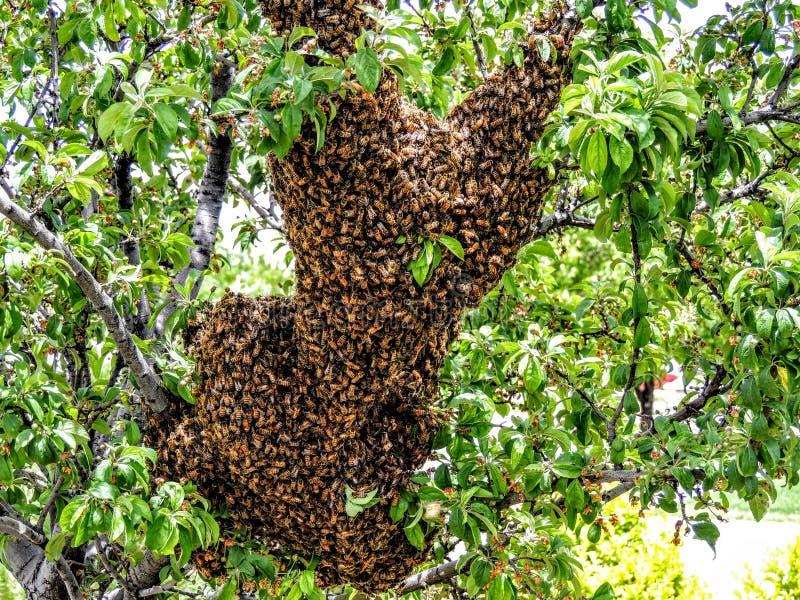 Essaim énorme des abeilles sur la branche d'arbre photos libres de droits