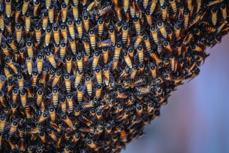Essaim d'abeille de miel images libres de droits
