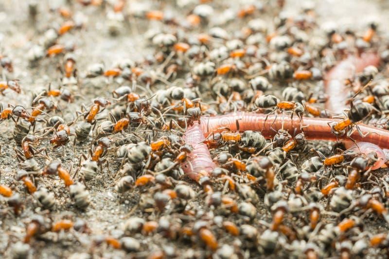 Essaim d'Ant Colony Eating Earthworm image stock