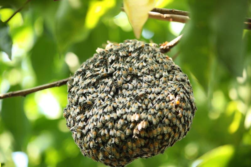 Essaim de beaucoup d'abeilles sur une branche d'arbre image stock