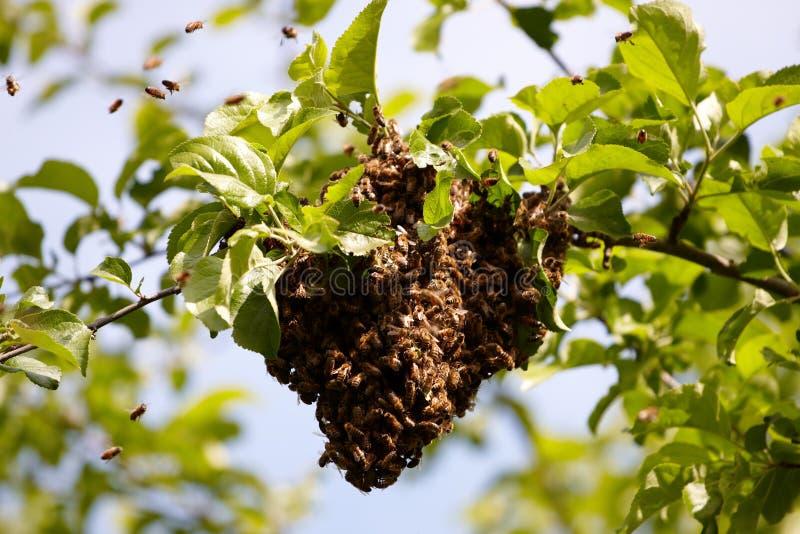Essaim des abeilles photographie stock
