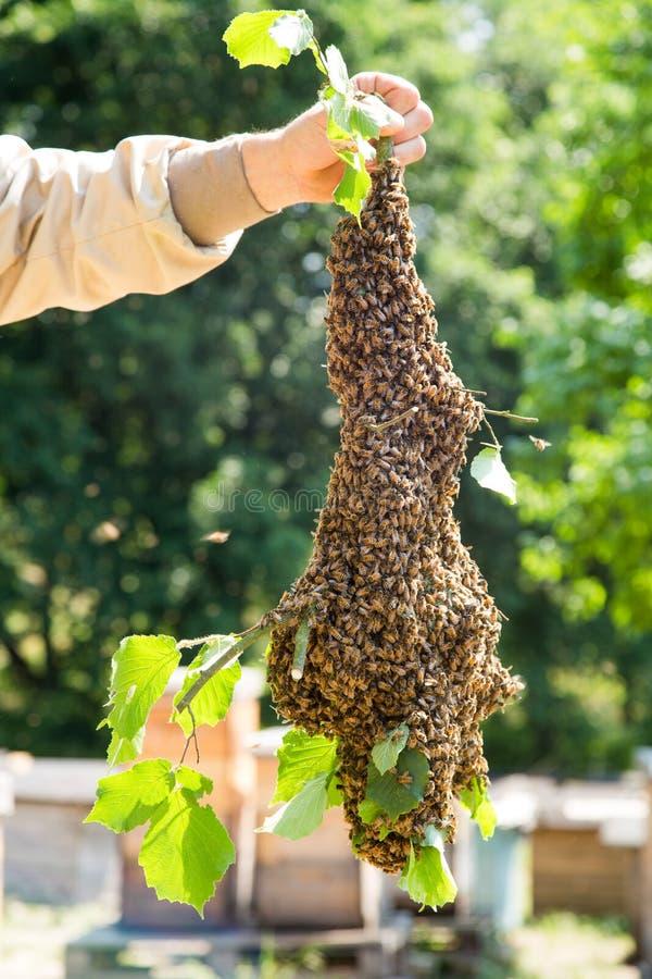 Essaim des abeilles avec la main du ` s d'apiculteur - abeilles dans le grand nombre sur la branche d'arbre photos stock
