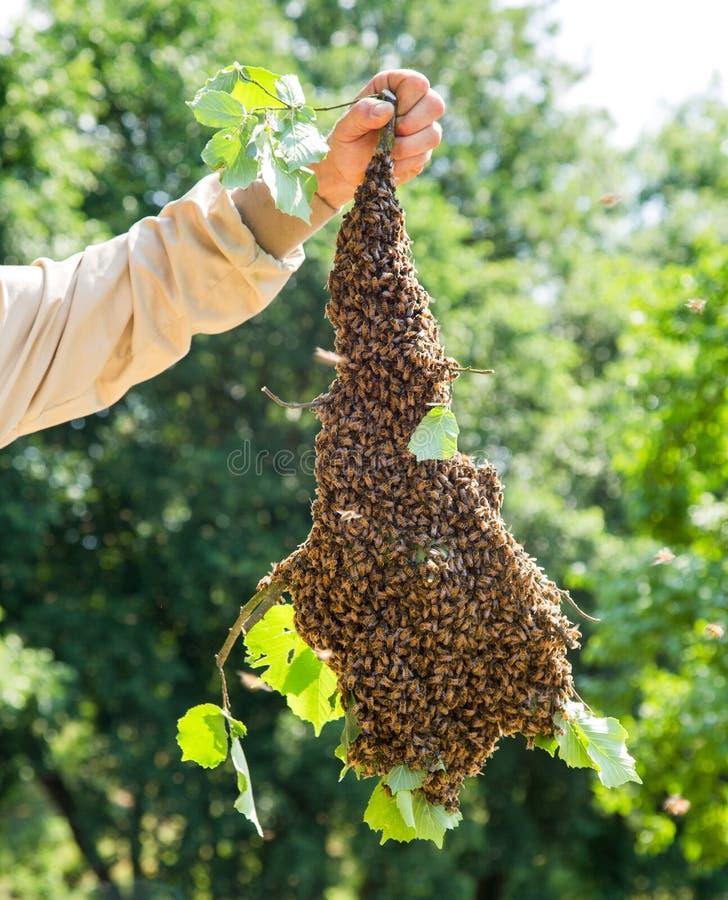 Essaim des abeilles avec la main du ` s d'apiculteur - abeilles dans le grand nombre sur la branche d'arbre photo libre de droits
