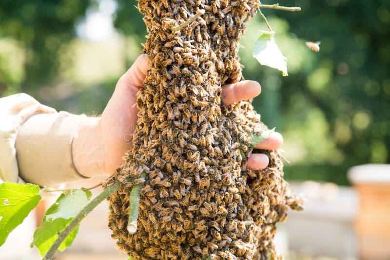 Essaim des abeilles avec la main du ` s d'apiculteur - abeilles dans le grand nombre sur la branche d'arbre photo stock