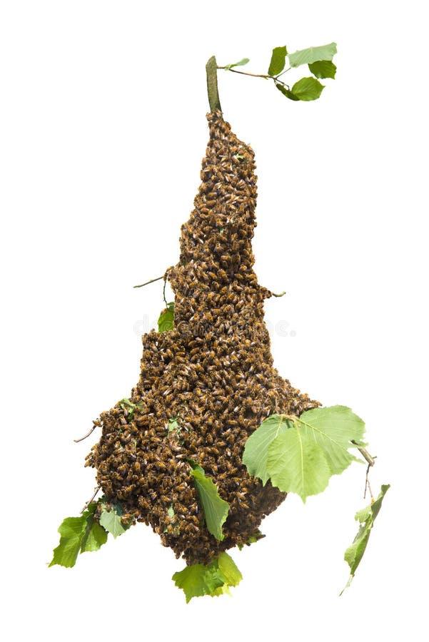 Essaim des abeilles d'isolement sur le fond blanc - abeilles dans le grand nombre sur la branche d'arbre photographie stock