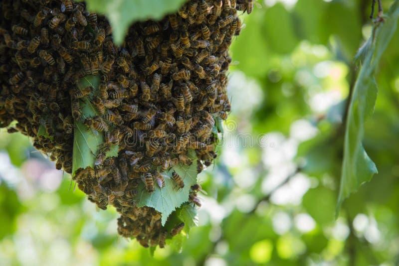 Essaim des abeilles - abeilles dans le grand nombre sur la branche d'arbre images stock