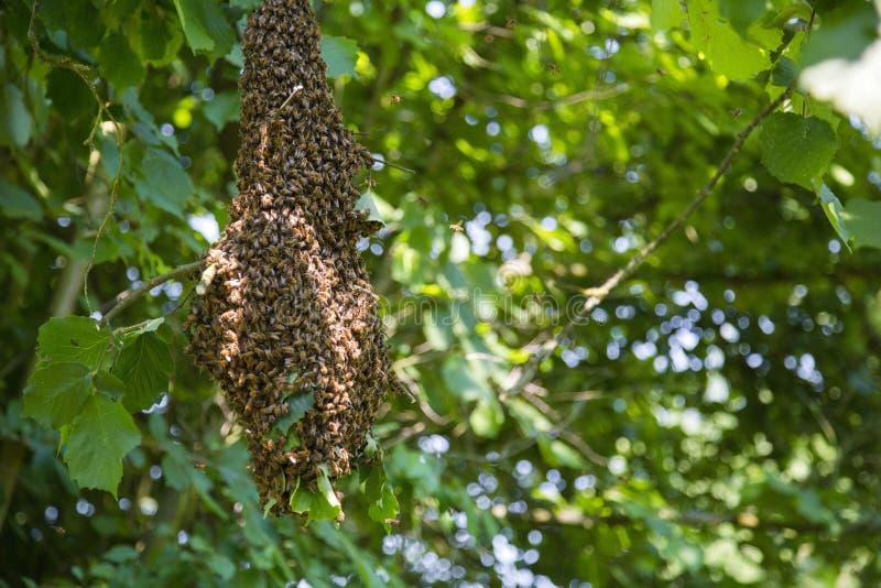 Essaim des abeilles - abeilles dans le grand nombre sur la branche d'arbre photo stock