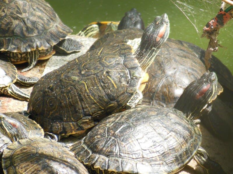 Essaim des tortues image libre de droits