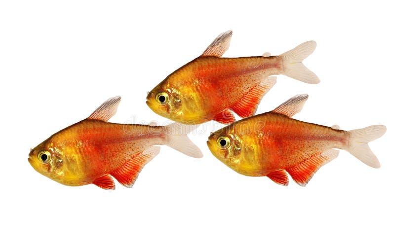 Essaim poissons tropicaux d'aquarium de Rio de tétra flammeus de Hyphessobrycon de flamme de rouge orange de tétra images libres de droits