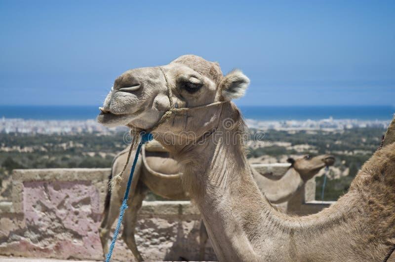 Essaouira. Camels resting under the sun near Essaouira, Morocco stock image