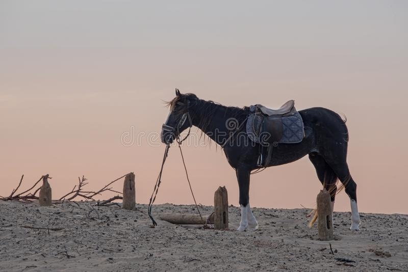 Horse with a harness and saddle waiting on the sand as the sky turns pink stock photography